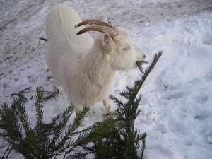 убираем ёлку и продаём козу