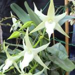 Мадагаскарская орхидея Вифлеемская звезда