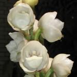 орхидея Святого Духа (2)