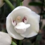 орхидея Святого Духа (3)