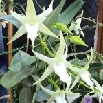 орхидея-комета