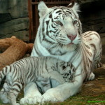 Новогодние тигрята (4)