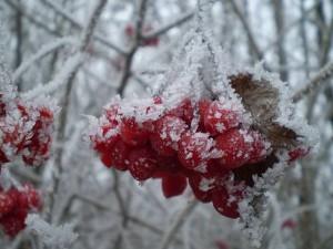 Красные ягоды в снегу