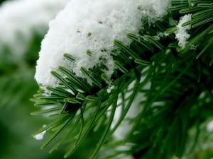 Сосновые ветки в снегу